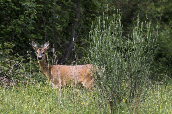 Capriolo selvatico nelle valli di Petroia