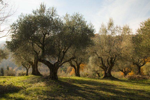 Gli olivi pronti per la raccolta