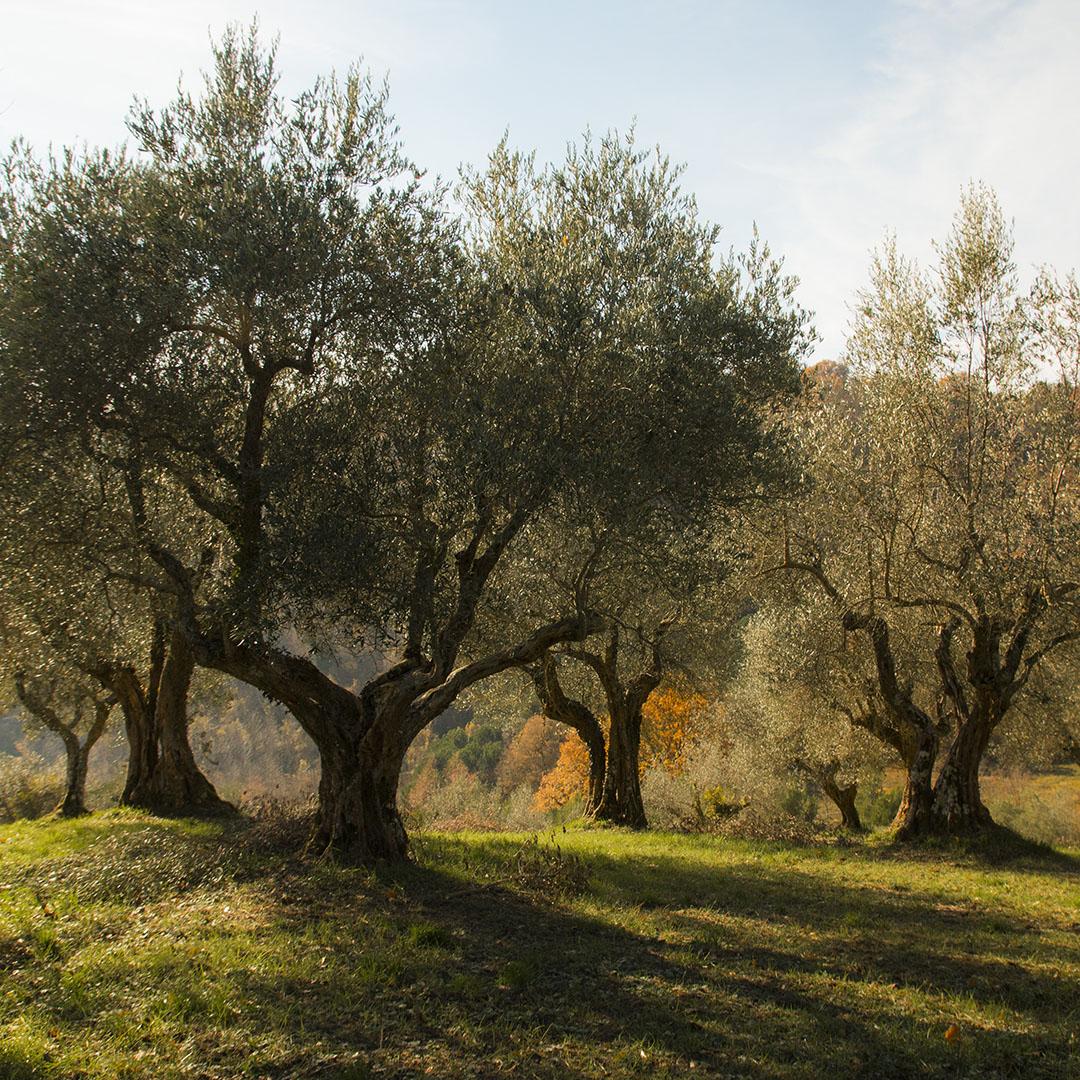 Olivi_nella_tenuta_del_Castello