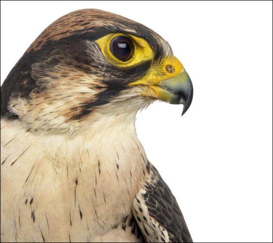falconeria_est