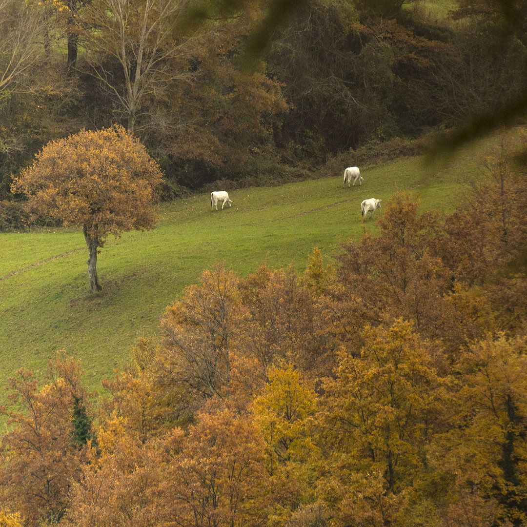 chianine_al_pascolo_in_autunno